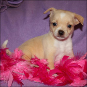 FEMALE CHIHUAHUA PUPPIES NOW READY FOR ADOPTION