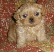 cute and playful shih tzu puppies ready to begin the new year with