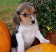 Gorgeous Beagle Puppies For Lovely Homes