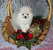 cute and lovely Pomeranian puppies for swet homes