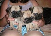Little Pug For Sale
