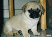 Pug Puppy  to good homes.